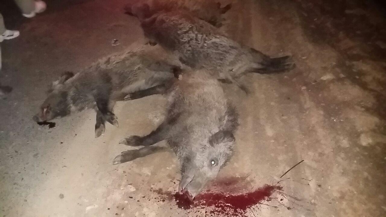 مرگ دردناک چهار خوک وحشی بر اثر سرعت بالای خودرو