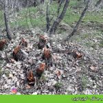 تخریب جنگل –   بالک (گردی خاتوو عاسێ) ، ڕەشەدێ و گوێزەکوێرە