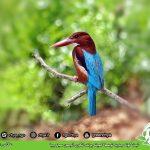 ثبت گونە جدید توسط کمیته پرنده نگری انجمن سبز چیا