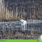 ورود سگهای بلاصاحب به زیستگاه پرندگان مهاجر در زریبار